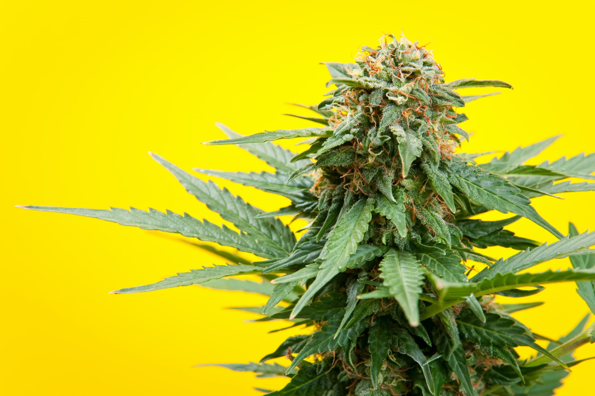 The Ultimate Guide To Growing Marijuana Indoors, AskGrowers