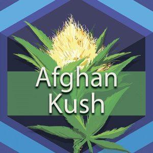 Afghan Kush (Afghani Kush), AskGrowers