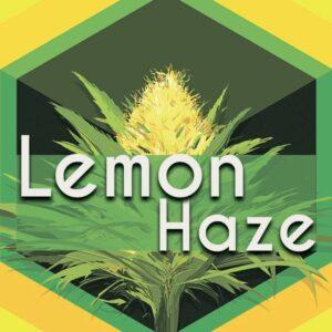 Lemon Haze, AskGrowers