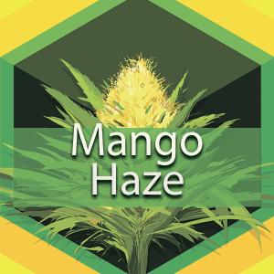 Mango Haze, AskGrowers