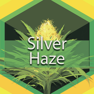 Silver Haze, AskGrowers