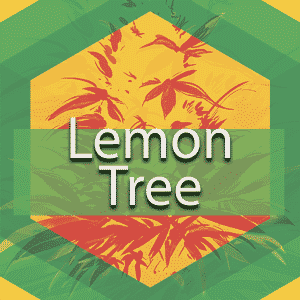 Lemon Tree, AskGrowers