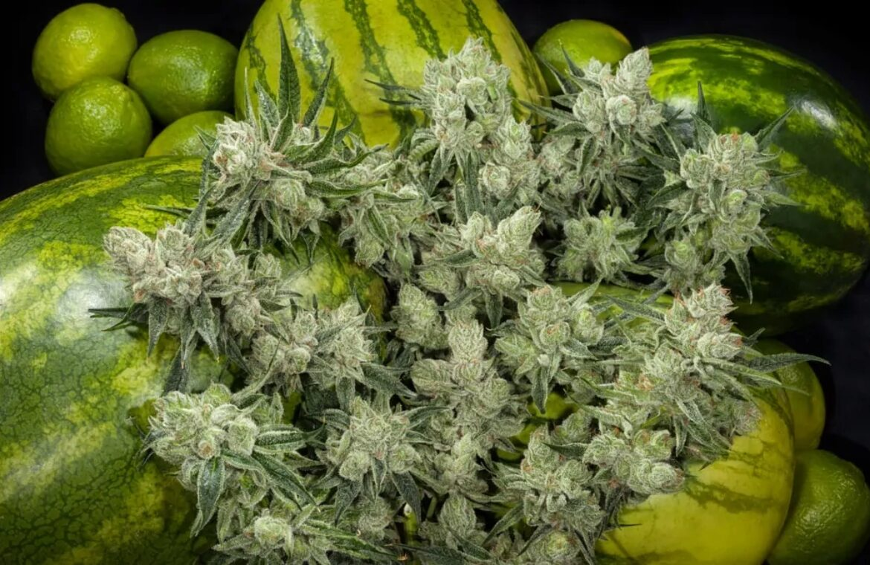 Watermelon (Watermelon Kush) strain photo 4
