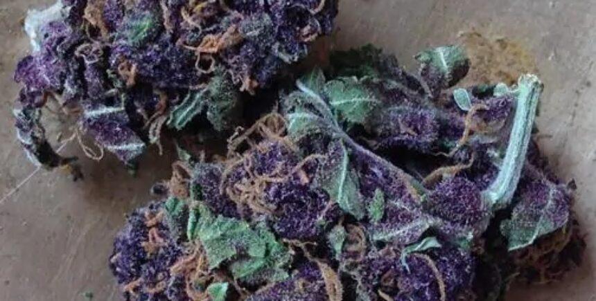 purple jack strain photo 2