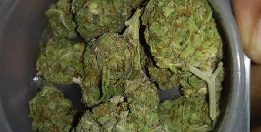purple jack strain photo