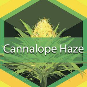 Cannalope Haze (Cantaloupe Haze), AskGrowers