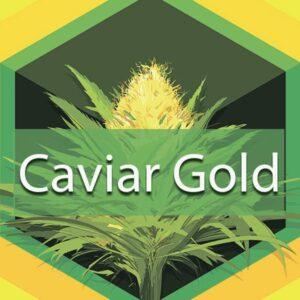 Caviar Gold, AskGrowers