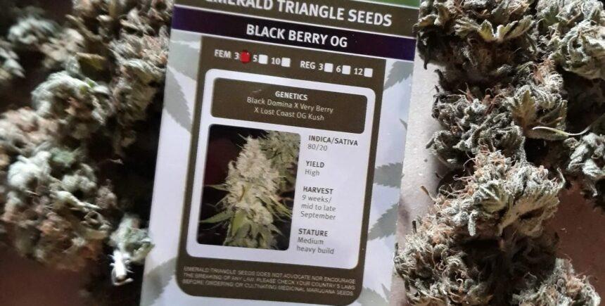 Emerald Triangle Seeds Black Berry OG