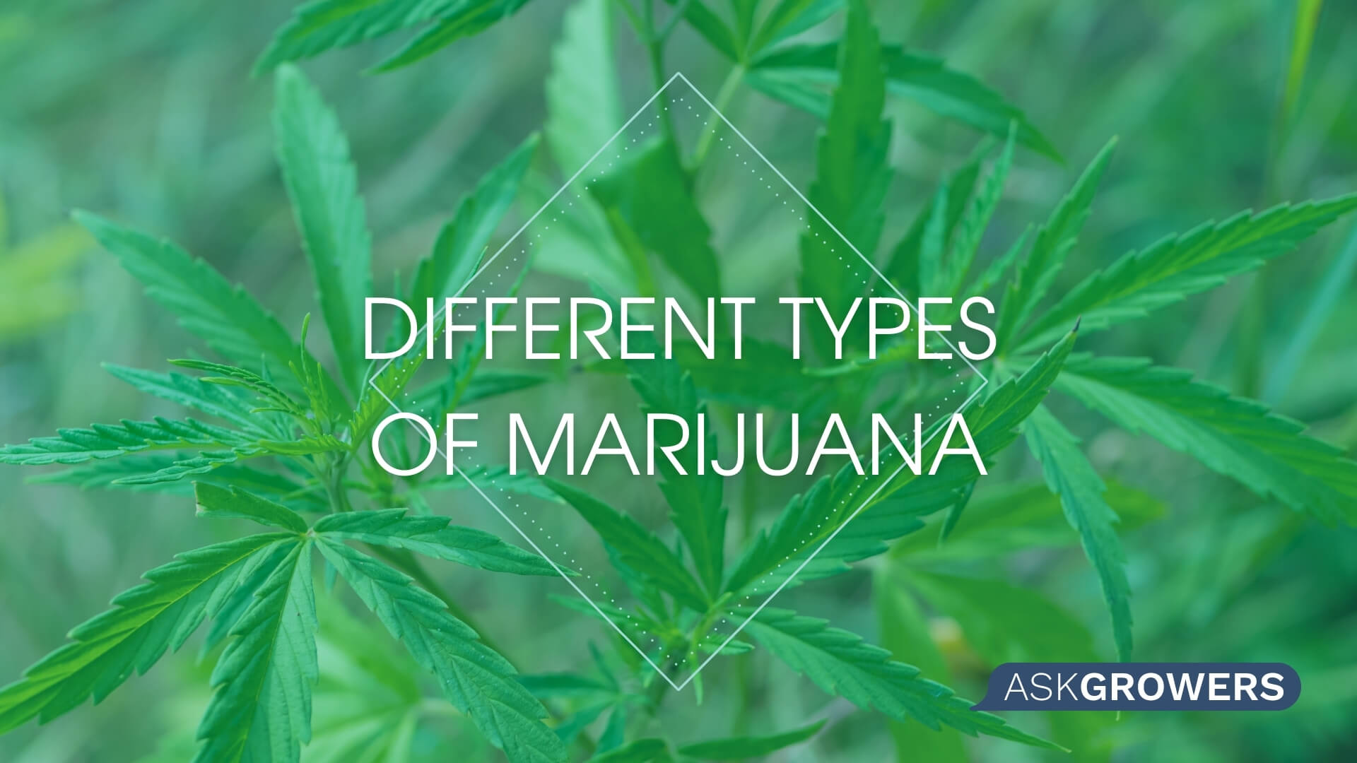 Types of Weed: Indica, Sativa, and Ruderalis – Differences Among Marijuana Types, AskGrowers