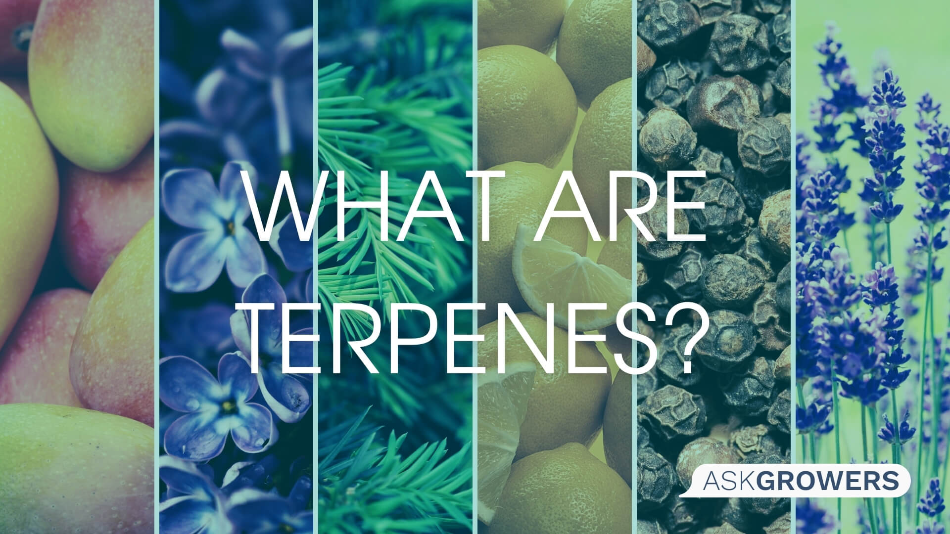 What Are Terpenes?, AskGrowers